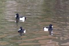 Tufted ducks - male © Catherine Leatherland