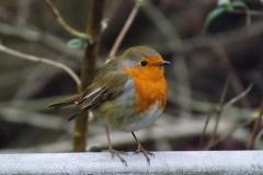 Robin © Catherine Leatherland