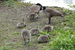 Canada Goose Goslings © Catherine Leatherland