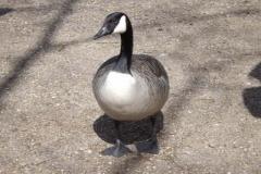 Canada Goose © Catherine Leatherland