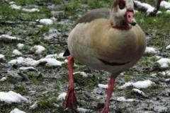 Egyptian Goose © Catherine Leatherland