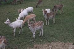 Fallow Deer © Catherine Leatherland