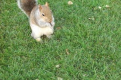 Grey Squirrel © Catherine Leatherland