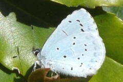 Holly Blue Butterfly © Catherine Leatherland