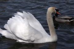 Mute Swan © Catherine Leatherland