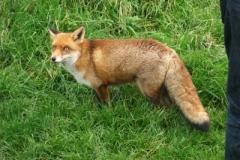 Red Fox © Catherine Leatherland